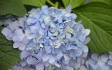 八仙花图片
