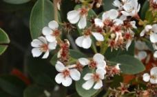 厚叶石斑木的花图片