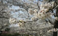 武汉樱花图片