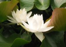 白色睡莲图片