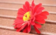 红菊花图片