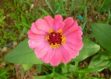 粉色小花图片