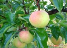 苹果梨成熟期图片