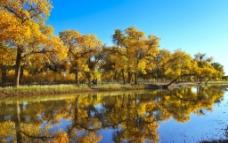 金色胡杨图片