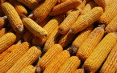 玉米棒图片