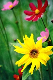 秋英花图片