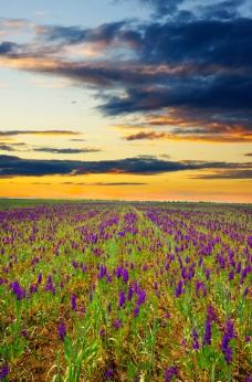 夕阳下的唯美草花海图片