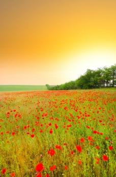 夕阳下的唯美草原 虞美人图片
