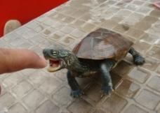 乌龟 草龟图片
