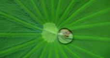 荷叶与水珠图片
