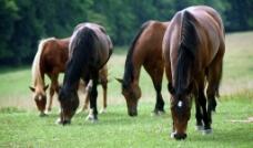 群马觅食图片