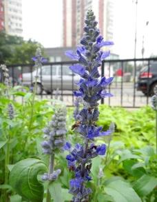 蓝花挺立图片