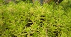 星星草绿色植物草坪图片