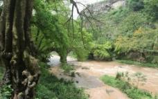 东溪黄葛树图片