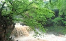 东溪黄葛树瀑布图片