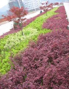 红花继木 红枫图片