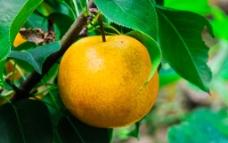 黄金梨图片