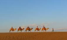 骆驼行图片