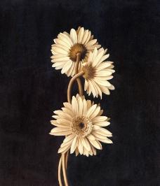 菊花油画图片