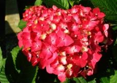 绣球花图片