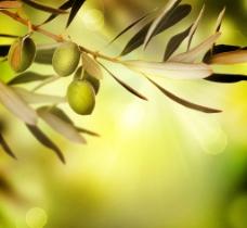 树上橄榄果特写图片