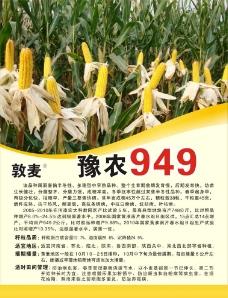 玉米宣传海报图片