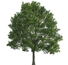大树配景图片