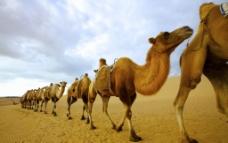 金色的沙漠和骆驼队图片