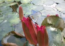 荷尖上的蜻蜓图片