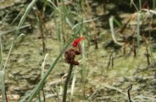红蜻蜓图片