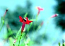 五星红花图片