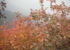 香山红叶图片