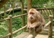 峨眉山猴子图片