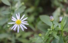 野菊摄影图图片