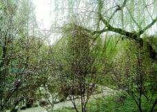 柳树红花图片