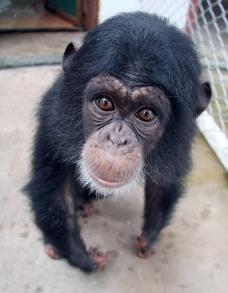 幼黑猩猩图片